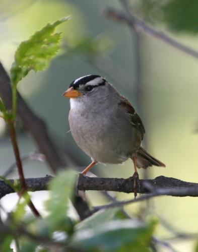 oiseau fond ecranZonotrichia_leucophrys1.jpg